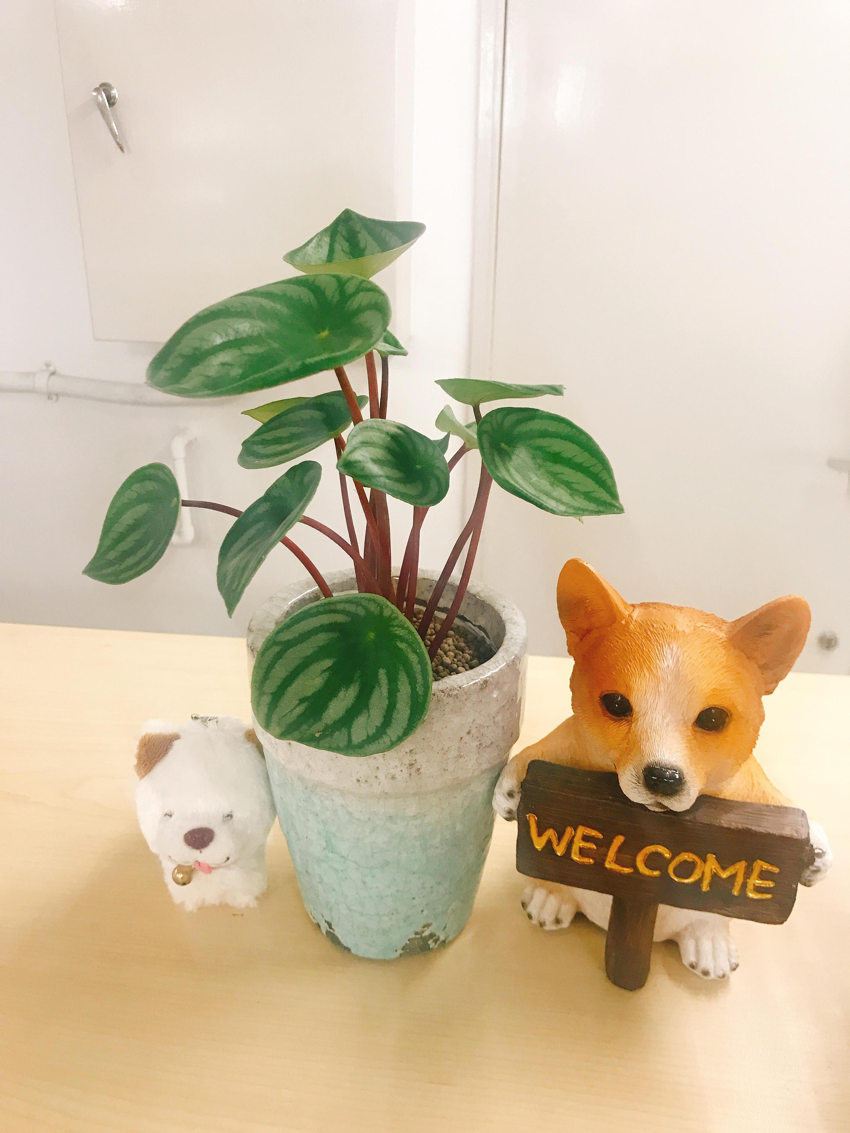 小太郎 わさお 観葉植物 ペペロミア 弁護士