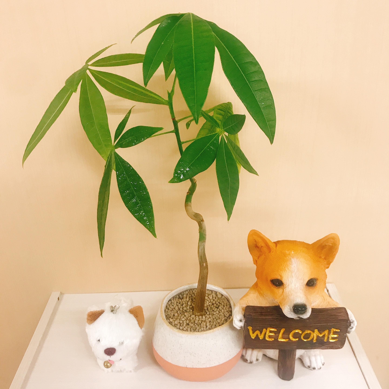 パキラ 生長 弁護士 観葉植物