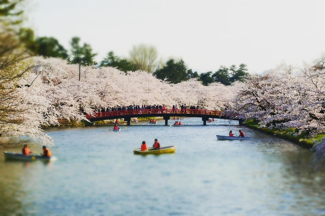 弘前さくら祭り 弘前城 桜