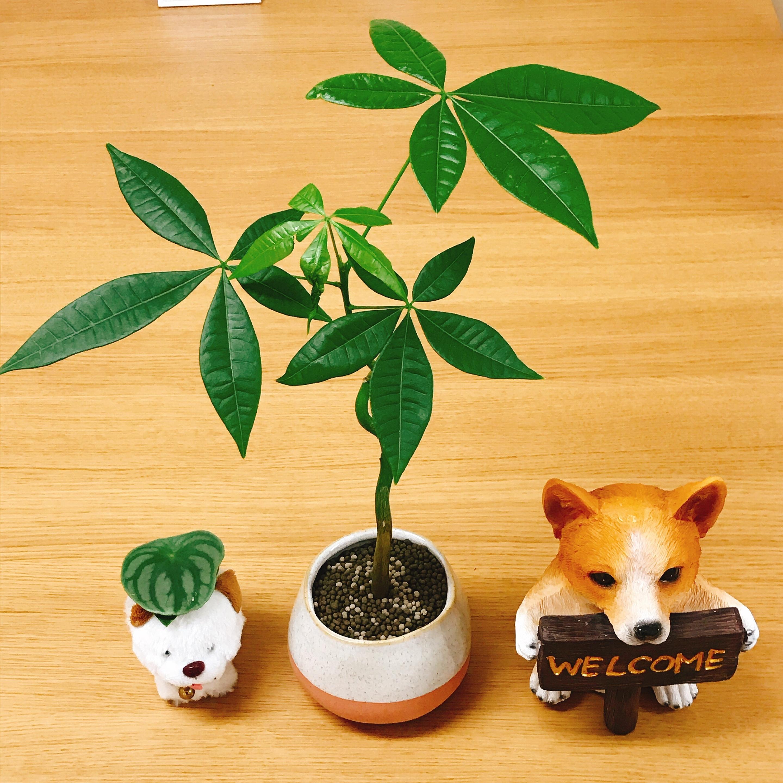 弁護士 観葉植物 パキラ